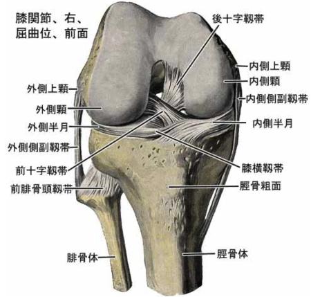 内側側副靭帯 解剖