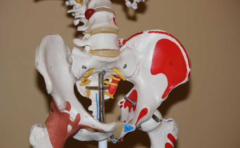 股関節 骨盤 模型