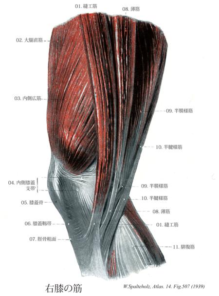 鵞足 解剖