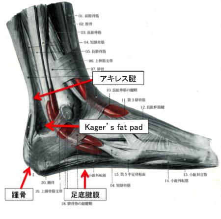 アキレス腱 解剖