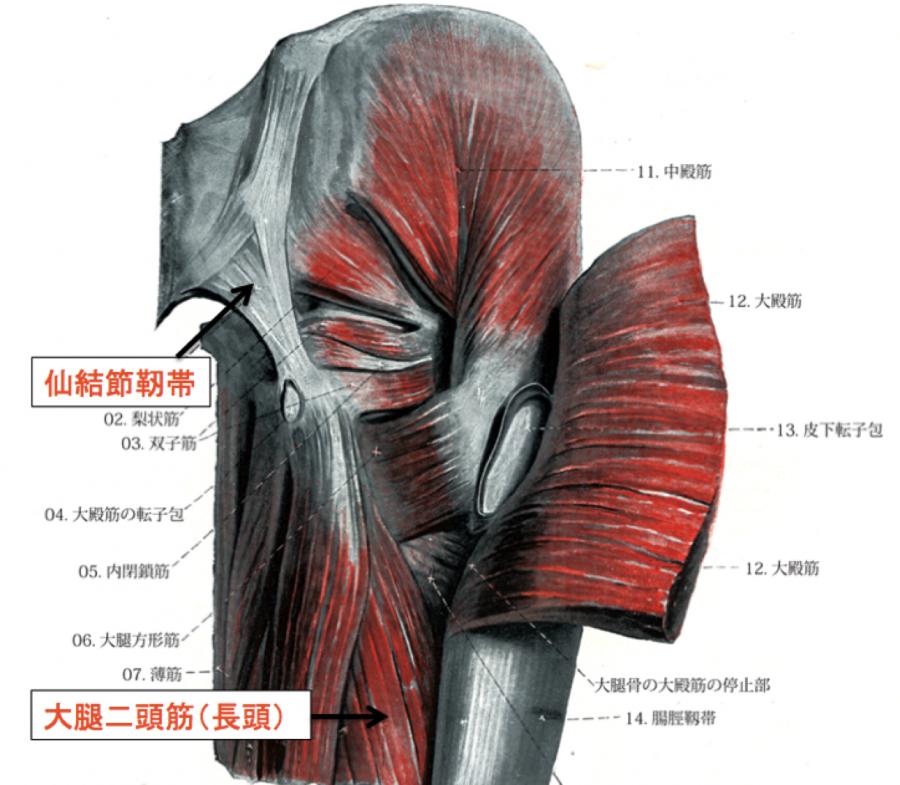 大腿二頭筋 長頭 起始部