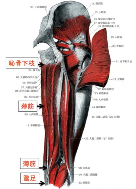 薄筋 解剖