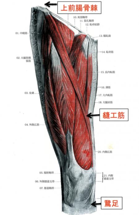 縫工筋 解剖